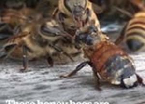 Honey bees saving their mate